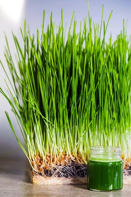 benefits of wheatgrass, good parenting brighter children, wheatgrass juice, is wheatgrass gluten free? what is wheatgrass? what is wheatgrass good for, wheatgrass