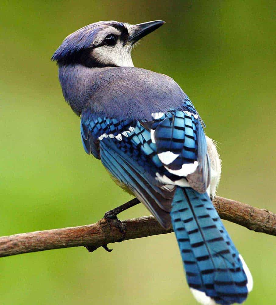 bird watching; a blue jay