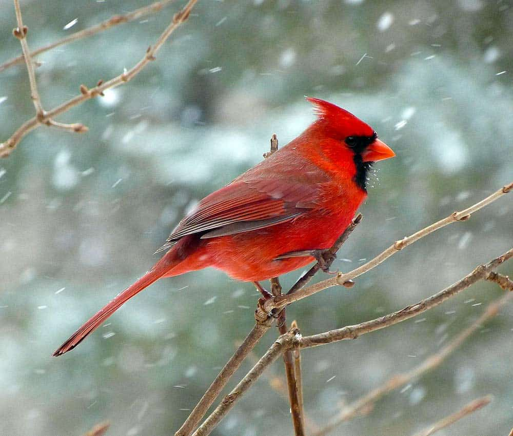 bird watching, a cardinal on a branch